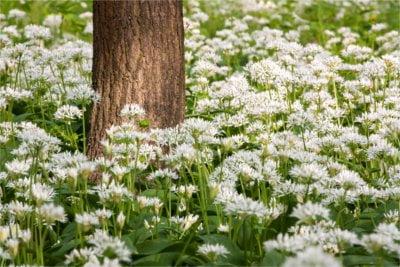 Czosnek możesz spokojnie hodować w ogródku.
