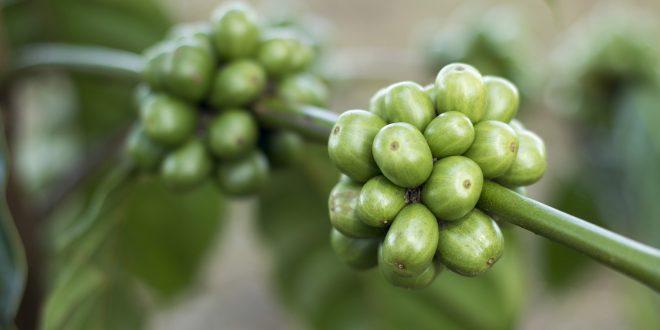 Jakie zalety ma zielona kawa?