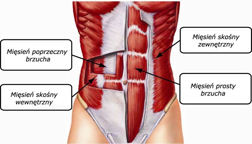Zobacz jakie są rodzaje mięśni brzucha.
